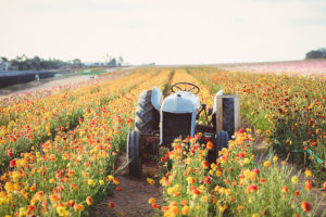 Certified American Grown is a group of more than 60 small and large farms that work tirelessly to ensure the flowers they grow are the best possible. (Photo provided by Certified American Grown Flowers)