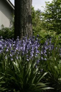 The tall spikes of Spanish bluebells