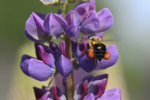 A lupine being visited by a common eastern bumble bee, a great pollinator of flowers and numerous fruit and vegetable crops, including tomatoes, blueberries and cucumbers.