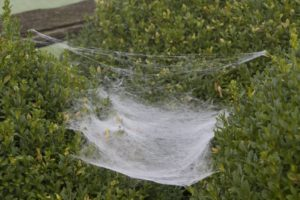 These spiders weave sheet-like webs and hang beneath them.  Insects get caught on the sheet and the spider bites through the web to paralyze her prey, which is now her next meal.