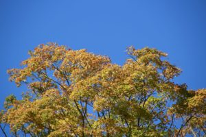 An autumn maple contrasted against an amazing deep blue sky