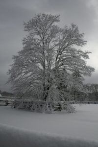 This red maple looks fantastic covered with snow.  The photo is reminiscent of a black and white silver print, which Ansel Adams was famous for.