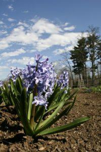 Last spring's fragrant hyacinths