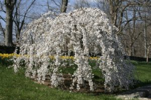 And my beautiful weeping cherry near the stable