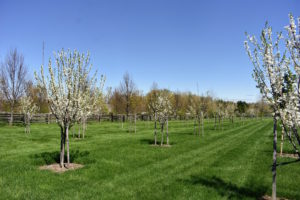 The orchard surrounds three sides of my pool. We planted more than 200-fruit trees here, many of which started as bare-root cuttings. The trees are all staked for added support, and they're growing very well – in part because of the nutrient-rich soil.