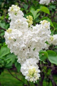 They appear from mid-spring to early summer just before many of the other summer flowers blossom.