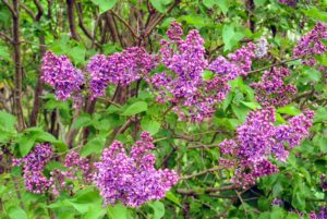 Most lilacs thrive in hardiness zones 3 through 7, in cooler climates with chilling periods. Lilacs are typically clump-forming, producing new shoots from the base of the trunk, which can be used for propagating.