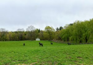 This is the run-in paddock. Four Friesians are let out here for the night. These horses are actually running through the field. It is so beautiful to see these horses gallop - they are very happy to be outdoors.