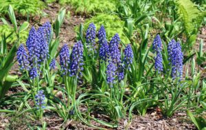 We also have more muscari in this area. These cobalt blue flowers grow to about six to eight inches tall. Muscari is better known as grape hyacinths, which have tight clusters of fat little bells with a grape juice fragrance. Muscari bloom in mid-spring, at the same time as tulips. Deer and rodents rarely bother them, and the bulbs multiply readily, returning to bloom again year after year.