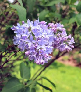 Lilacs come in seven colors: violet, blue, lilac, pink, red, purple, and white. The purple lilacs have the strongest scent compared to other colors.
