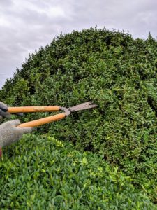 Twice a year, we groom and prune the boxwood. This is always done with hand shears to give them a more clean and manicured appearance.