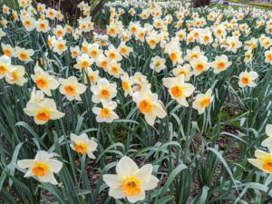 With more than 25-thousand named varieties, daffodils are one of the most hybridized flowers in the world. The blossoms come in many combinations of white, orange, yellow, red, pink, and even green.