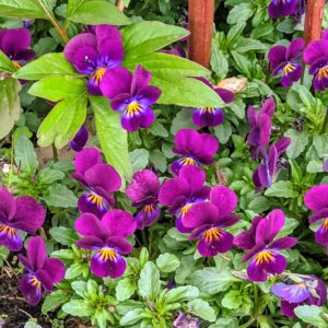 Already blooming are these beautiful Johnny Jump Ups, Viola. The cheery purple flowers are easy to care for and ideal for novice gardeners who want to add some color to their landscaping.