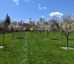 My fruit orchard surrounds three sides of my pool. We planted more than 200-fruit trees here, many of which started as bare-root cuttings. These trees are all staked for added support, and they're growing very well – in part because of the nutrient-rich soil.