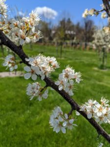 These are plum tree branches. My plum varieties include 'Green Gage', 'Mount Royal', 'NY9', and 'Stanley'. Prunus americana has such beautiful white flowers. It produces very sweet, and juicy fruits.