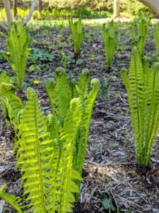 In my shade garden outside the Tenant House, I have lots of beautiful ferns. Every day more and more unfurl. A fern is a member of a group of roughly 12-thousand species of vascular plants that reproduce via spores. These are ostrich ferns.
