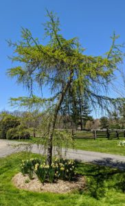 """This is a weeping larch, Larix decidua 'Pendula'. It has bright green needles in spring, which turn gold before dropping in fall. This curvaceous tree is located at """"the triangle"""" where the carriage roads leading to the Boxwood Allee, the Pin Oak Allee, and the woodland, all converge."""