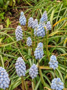 They also come in light blue, pink, white, and two-toned. Muscari grows to about six to eight inches tall - and deer don't seem to like them.