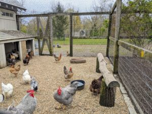 It's always such a joy to see the animals at my farm thriving. In this photo, the Heritage Barred Rocks are in front, and the smaller black and white chicken is a Silver Spangled Hamburg.