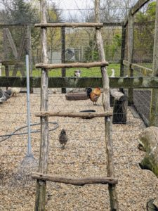 Chickens love to roost on high levels. In their fenced enclosure, the chickens are provided ladders and natural roosts made out of felled trees.