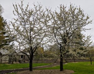 In front of my large vegetable garden is a pair of cherry trees. Cherry trees are so beautiful in spring - these are covered in white blossoms. These trees will then produce the delicious cherries we all know and love. Unfortunately, the squirrels love them also.
