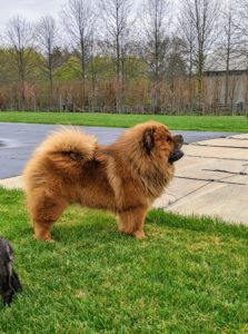 The Chow Chow is an ancient breed of northern Chinese origin. As an all-purpose dog of China, it was used for hunting, herding, pulling, and protection. Here is Emperor Han. He is the grandson of my dear late G.K. Can you see any resemblance?