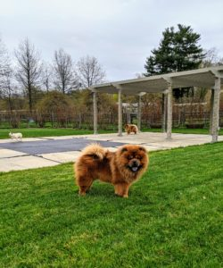 Chows are known to be serious-minded, dignified, and very bright. Here is Han waiting for the next activity - a walk around the farm.