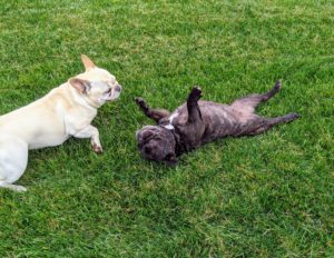 """Frenchies, as they are affectionately called, are very playful. In fact, they have been referred to as """"clown dogs"""" for their fun-loving and vivacious personalities. They also have calm, gentle natures."""