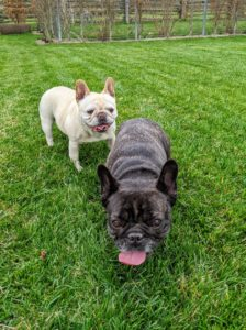 According to the standard, the Frenchie should have soft, loose skin, especially around the head and shoulders. The head should be large, square, and with the distinctive groove between their eyes.