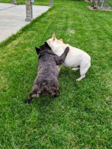 The French Bulldog is a small, active, and muscular dog with heavy bone and smooth coat. Creme Brulee and Bete Noire love playing and wrestling.