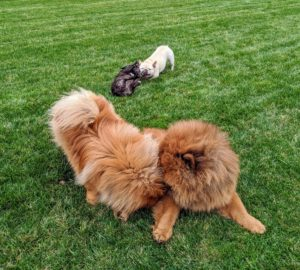 """While the Chows wrestle in the foreground, Creme Brulee exhibits a """"play bow"""" in the distance. Look closely and her front legs are out in front with her chest low to the ground, and her rear end up. It's a dog's way of inviting friendly play."""