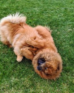 Chows can weigh anywhere from 45 to 60 pounds. Their coats can be rough or smooth and come in red, black, blue, cinnamon, or cream. Both Qin and Han are red rough-coated Chow Chows.