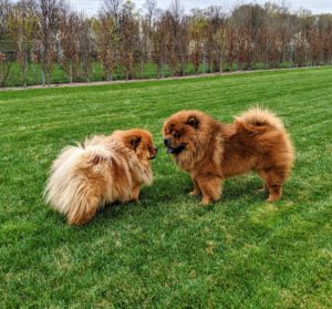 I wonder what these Chows are contemplating. Chows should be sturdy and squarely built. Its body should be compact, and heavy boned. Empress Qin is already a Champion show dog - she is a beautiful Chow. I know Han will also do very well in the show ring.