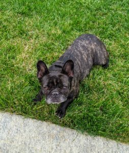 Are you getting tired, Bete Noire? The bright, affectionate Frenchie is a very charming breed. They don't bark much, but their alertness makes them excellent watchdogs and great companions.