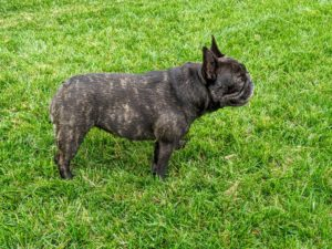 Generally, a French Bulldog is about 11 to 12 inches tall. Males weigh 20 to 28 pounds, while females 16 to 24 pounds when fully grown. Here, one can see Bete Noire's pretty brindle markings.