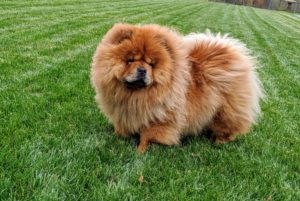 It's hard to resist a Chow's face.