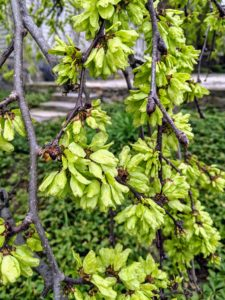 Its leaves are broad oblong-obovate to elliptic, rough-textured, and serrated.