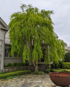 Nearby is this weeping katsura tree. Cercidiphyllum japonicum f. pendulum has pendulous branches that fan out from the crown and sweep the ground. Caramel-scented foliage emerges bronze or purple-red, turns blue-green, then fades to gold or apricot in autumn.