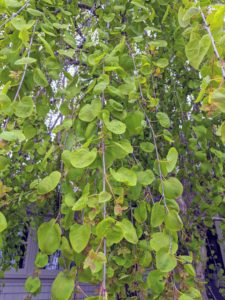 Here is a closer look at one of its branches – already full of foliage.