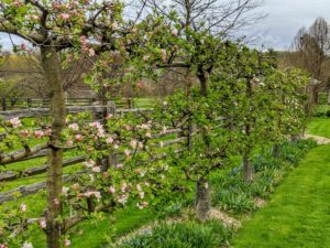 And across the carriage road from my Winter House are the beautiful Malus 'Gravenstein' espalier apple trees.