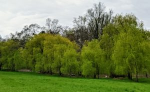 The landscape around the farm is changing every day – here, the green-yellow of the weeping willows can be seen in the distance.