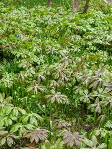 Mayapple does naturalize freely, but look how pretty it is in large amounts. I have lots of these gorgeous plants throughout the shade garden.