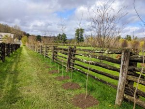 This newest hedge borders one side of my donkey paddock. It is a row of American Hornbeams, Carpinus Caroliniana. This deciduous hardwood tree prefers moist, acidic soil and produces dark green summer leaves that turn a variegated orange in the fall. It will look so pretty in this location.