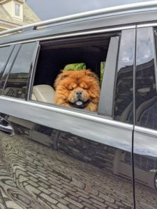 My dogs love riding in the car - they are very well-behaved in their seats. Here's Emperor Han, my gorgeous Chow Chow.