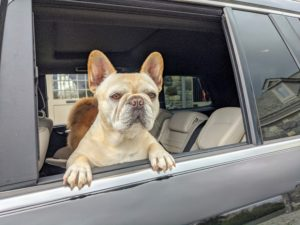 And here's my French Bulldog, Creme Brulee, enjoying all the activity and views from the back seat. What do you see, Creme? Visit my Instagram page @MarthaStewart48 for a cute video of her dozing off while watching.