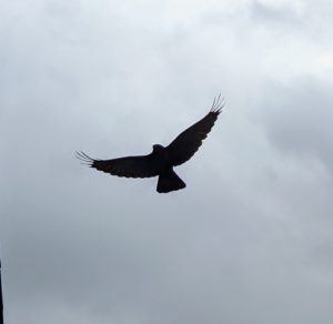 Last week, while joining a LIVE Zoom broadcast for Mercedes-Benz, my crew of three who are staying with me at the farm, and I, saw this large and handsome crow watching all the activity and making its many caw-caw noises. Here it is in flight.