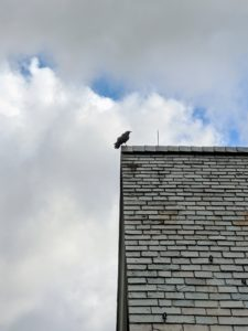 A crow watches from the carriage house rooftop and occasionally lets out a series of caw-caws.
