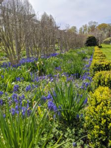 This is the north side of the pergola with lots of growing Muscari.