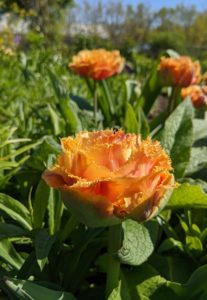 This tangerine-hued tulip has large flower heads loaded with ruffles and fringed petals.