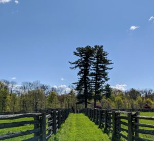 The great white pine trees in the distance are visible from almost every location on this end of the farm. Pinus Strobus is a large pine native to eastern North America. Some white pines can live more than 400-years.